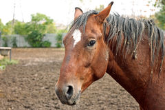 Portrait of horse hard working in field Royalty Free Stock Image