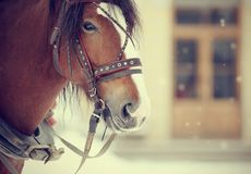 Portrait of a horse in a harness. Portrait of a brown horse in a harness Royalty Free Stock Photo