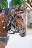 Portrait of horse with leather harness Stock Image