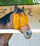 Portrait of horse with orange Royalty Free Stock Photography