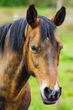 Portrait of the Horse Stock Photo