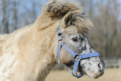 Portrait of horse pony Royalty Free Stock Photo