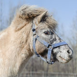Portrait of horse pony Royalty Free Stock Photography