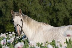 Portrait of horse in the poppy field Stock Photos