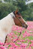Portrait of horse in the poppy field Royalty Free Stock Photo