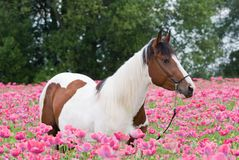 Portrait of horse in the poppy field Stock Images