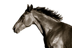 Portrait of horse in profile on a white background. Portrait of a horse on a white background in profile stock photos