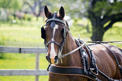 Portrait of horse pulling carriage in summer Stock Image