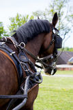Portrait of horse pulling carriage in summer Royalty Free Stock Images