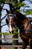 Portrait of horse pulling carriage in summer Royalty Free Stock Image