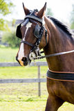 Portrait of horse pulling carriage in summer Stock Photo