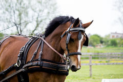 Portrait of horse pulling carriage in summer Royalty Free Stock Photos