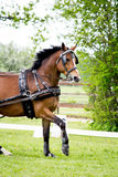 Portrait of horse pulling carriage in summer Stock Photos