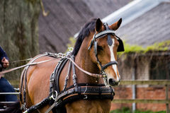 Portrait of horse pulling carriage in summer Royalty Free Stock Photo
