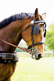Portrait of horse pulling carriage in summer Royalty Free Stock Photography