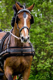 Portrait of horse pulling carriage in summer Stock Images