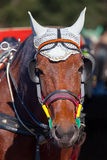 Portrait of a horse's head close-up. The horse in harness on a sunny day Royalty Free Stock Photo
