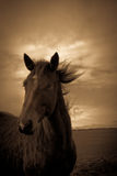 Portrait of a horse from Shropshire, England. Portrait of a horse in sepia from the Shropshire countryside in England Royalty Free Stock Image