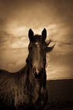 Portrait of a horse from Shropshire, England Royalty Free Stock Photography