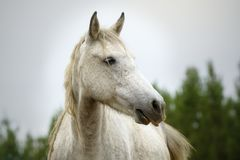 Portrait of a horse sticking its tongue out royalty free stock image