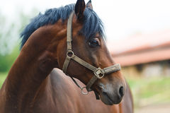 Portrait of horse Stock Photography
