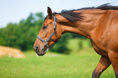 Portrait of horse at summer time Royalty Free Stock Photos