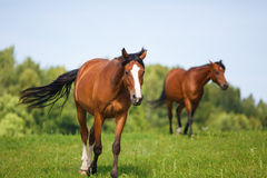 Portrait of horse at summer time Stock Images