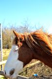 portrait of horse Royalty Free Stock Photo