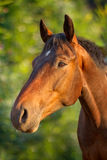 Portrait of a horse Stock Photography