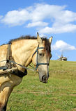 Portrait of horse and windmill. In Ukraine Royalty Free Stock Image