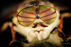 Portrait of horsefly Royalty Free Stock Photo