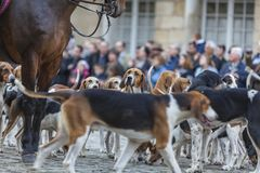 Portrait of a Hound. Environmental portrait of a hound during a traditional French hounds show Stock Photo