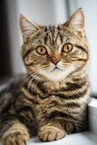 Portrait of house cat. Very serious cat near. The window royalty free stock photo