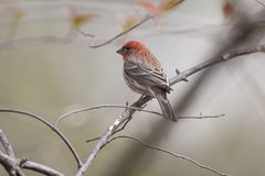 Portrait of house finch bird. Side view portrait of house finch bird perched on branches of tree Stock Photography