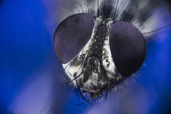 Portrait of housefly on a blue background royalty free stock photography