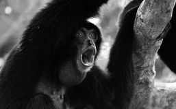 Portrait howling monkey Stock Images