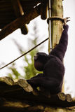 Portrait of a howling siamang gibbon monkey Symphalangus syndac Royalty Free Stock Photos