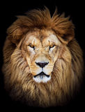 Portrait of huge beautiful male African lion against black backg Stock Photos