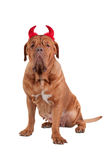 Portrait of Huge French Mastiff with red hornes Stock Photo