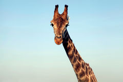 Portrait of a huge giraffe neck and face Stock Photography