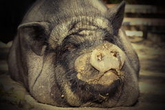 Portrait of huge pig Royalty Free Stock Photography
