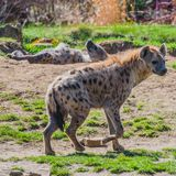 Portrait of huge and powerful African spotted hyena. Close up adult, male Stock Photography