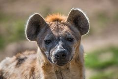 Portrait of huge and powerful African spotted hyena. Close up adult, male Royalty Free Stock Photos