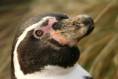 Portrait of a Humboldt Penguin Royalty Free Stock Image