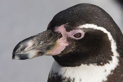 Portrait of a Humboldt penguin Royalty Free Stock Photography