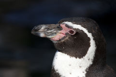 Portrait of a Humboldt pinguin Stock Photos