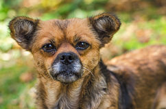 Portrait of hungry dog Royalty Free Stock Photo