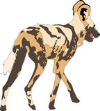 Portrait of a hungry and firerce wild dog. Hand drawn vector illustration  on white background Stock Images