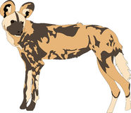 Portrait of a hungry and firerce wild dog. Hand drawn vector illustration  on white background Royalty Free Stock Photography