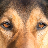 Portrait of a hunting dog - beautiful symmetry of the face, focu Royalty Free Stock Image